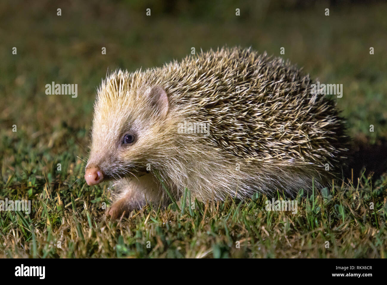 The Alderney Blonde Hedgehog, tame and approachable due to the lack of predation. - Stock Image