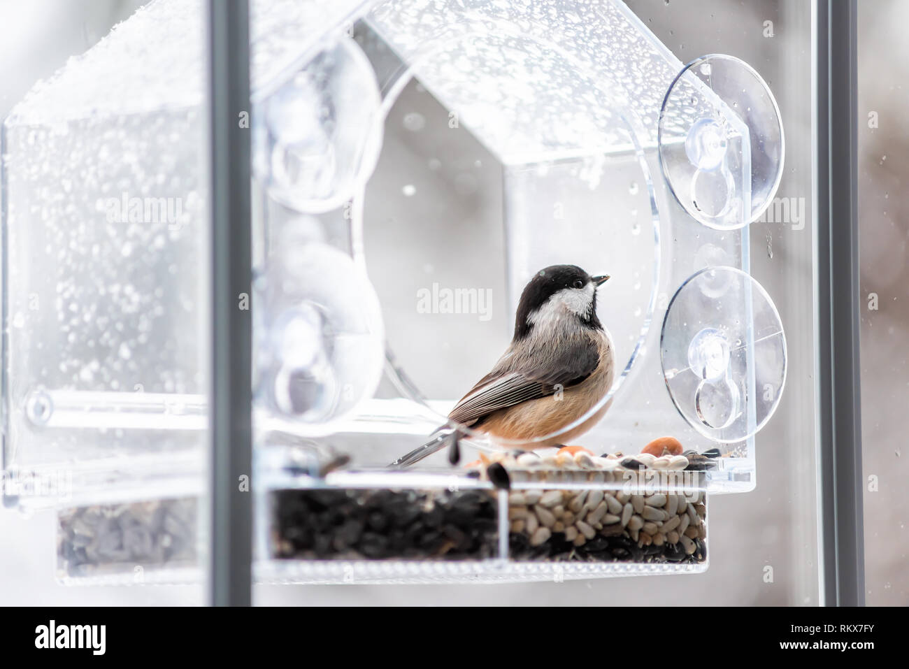 Closeup of black-capped or carolina chickadee bird perched on plastic glass window feeder looking during winter snow or rain in Virginia with seeds - Stock Image