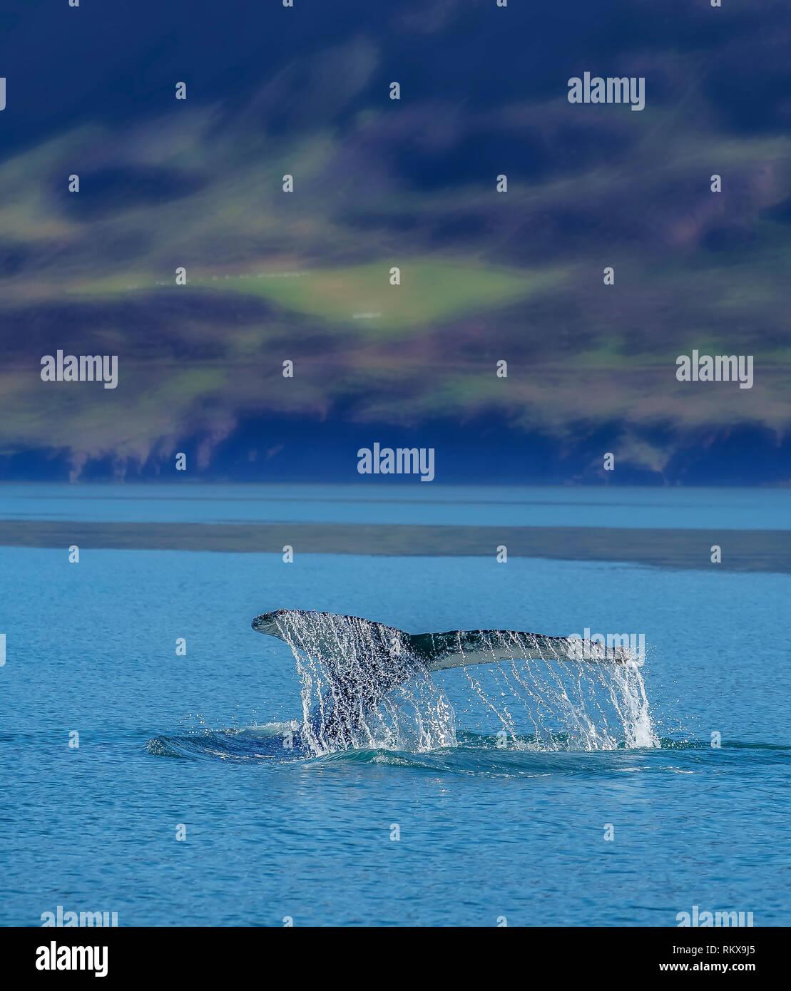 Humpback Whale, Lobtailing, Eyjafjordur, Iceland - Stock Image
