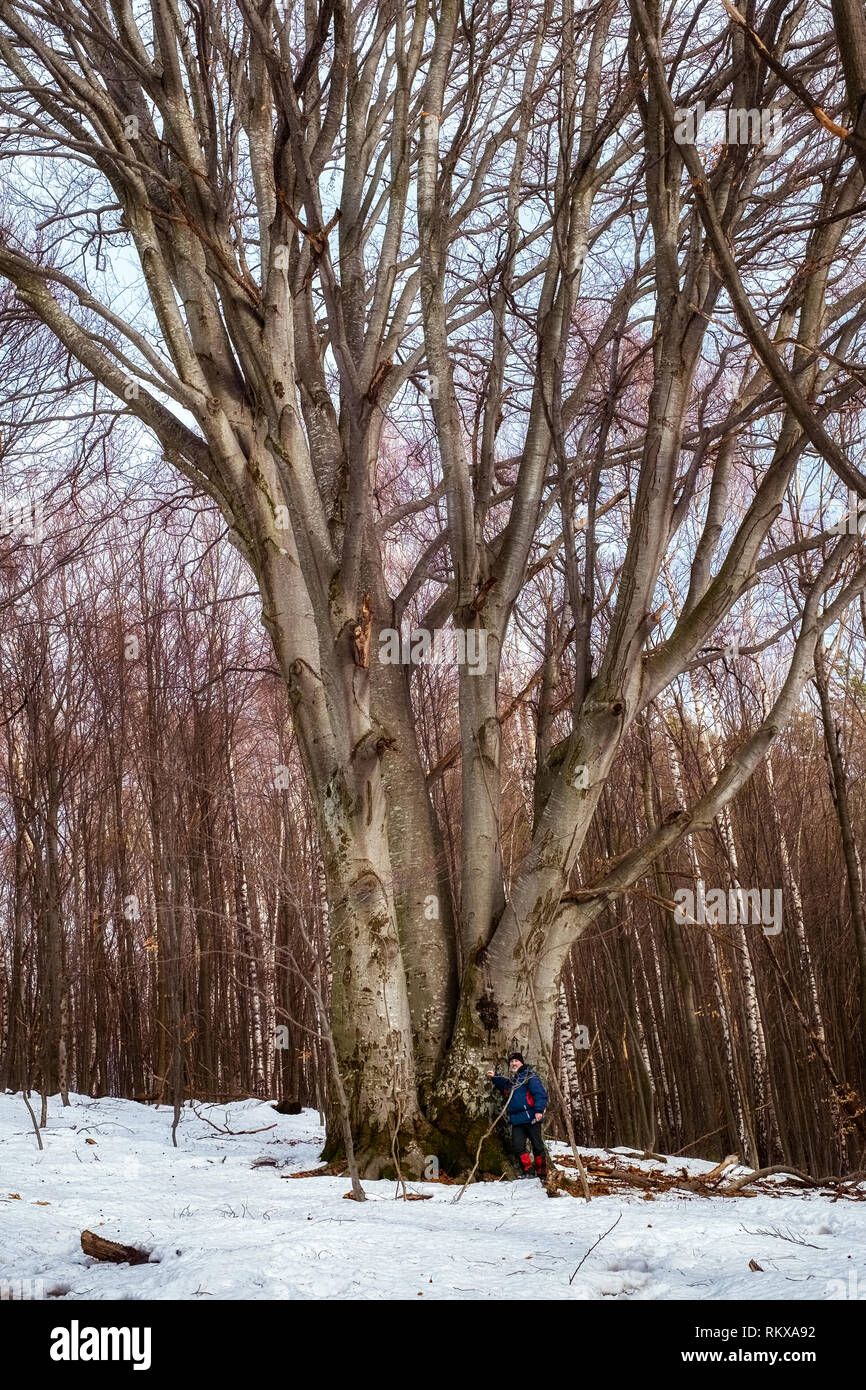 Sibiu, Romania - February 02, 2019. Man hiker resting in a secular forest near by a huge secular beech near Cisnadioara village, Sibiu county, Romania - Stock Image