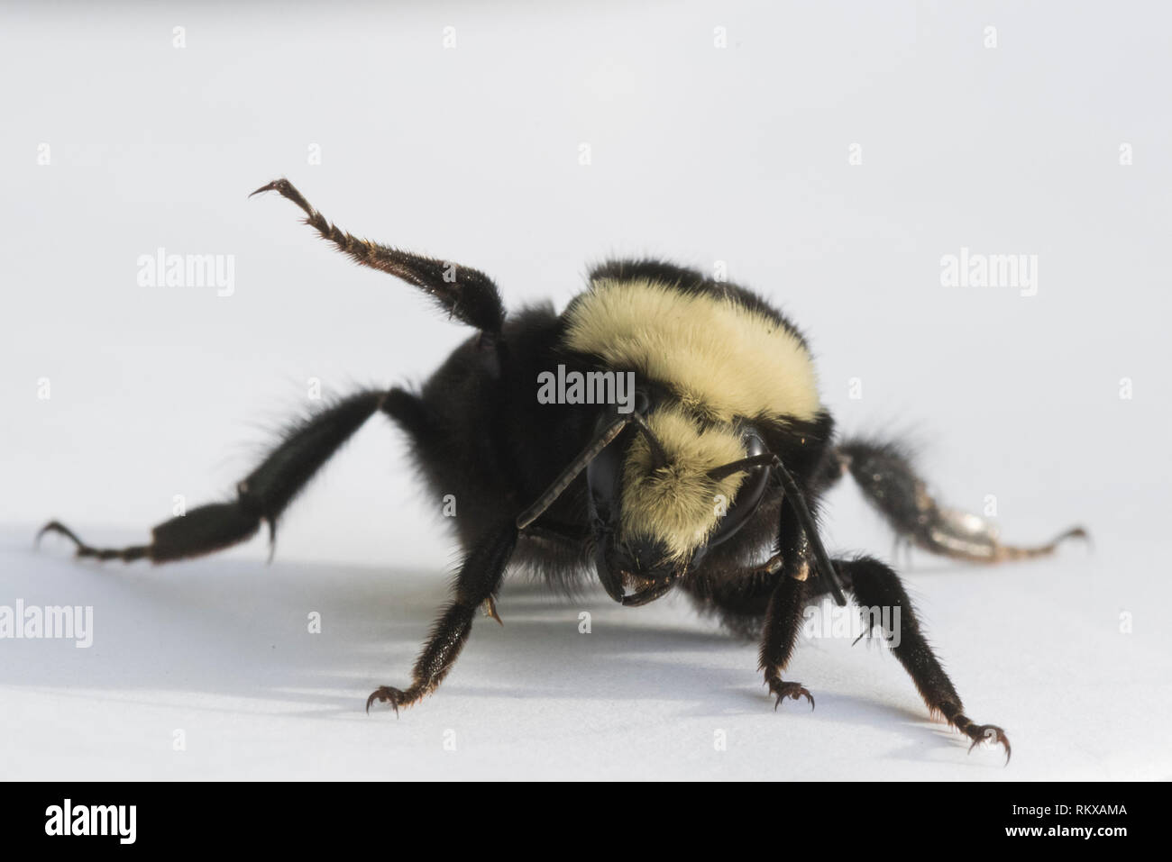 Yellow-faced Bumblebee (Bombus vosnesenskii) Queen - Stock Image