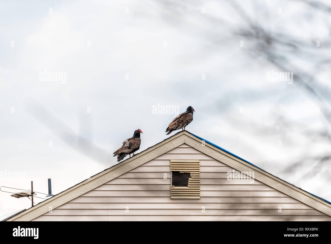 American Vultures Stock Photos Amp American Vultures Stock