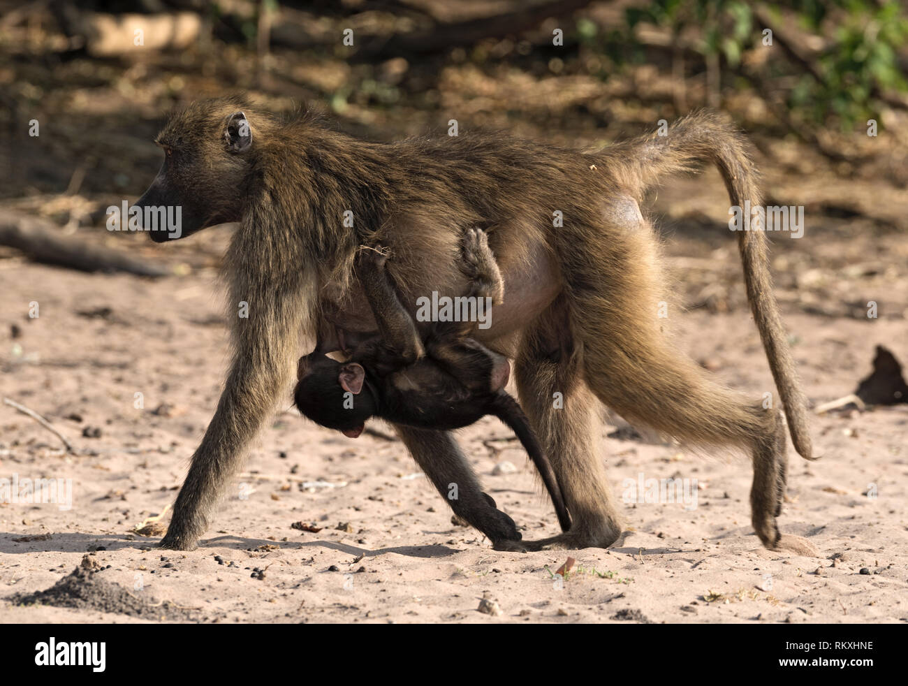 Baboon mother with a child on the bank of the Chobe River in Botswana - Stock Image