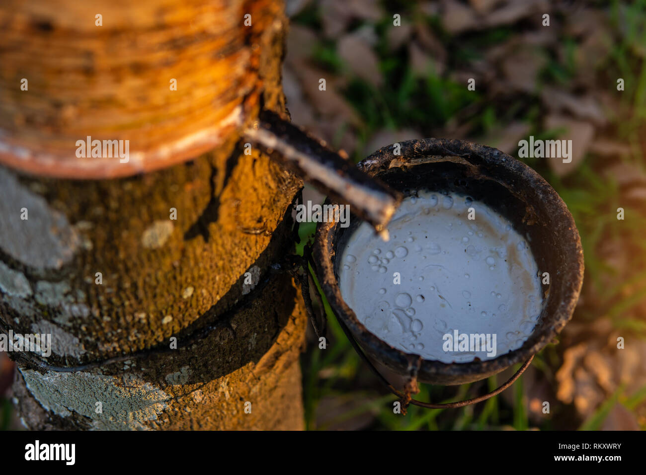 Gardener tapping latex rubber tree. Rubber Latex extracted from rubber tree. - Stock Image