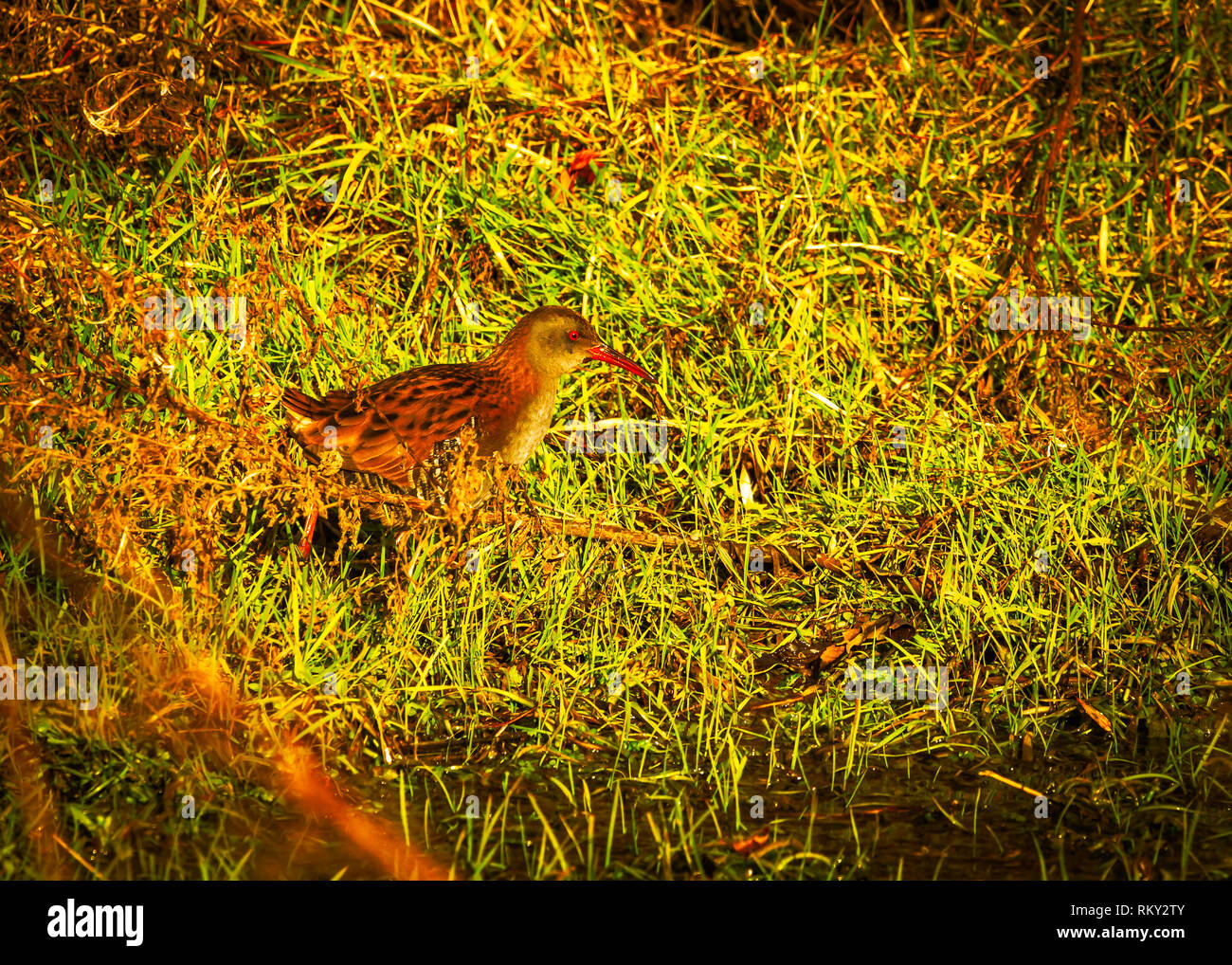 The water rail (Rallus aquaticus) is a bird of the rail family which breeds in well-vegetated wetlands across Europe, February 2019 Northwich Cheshire - Stock Image