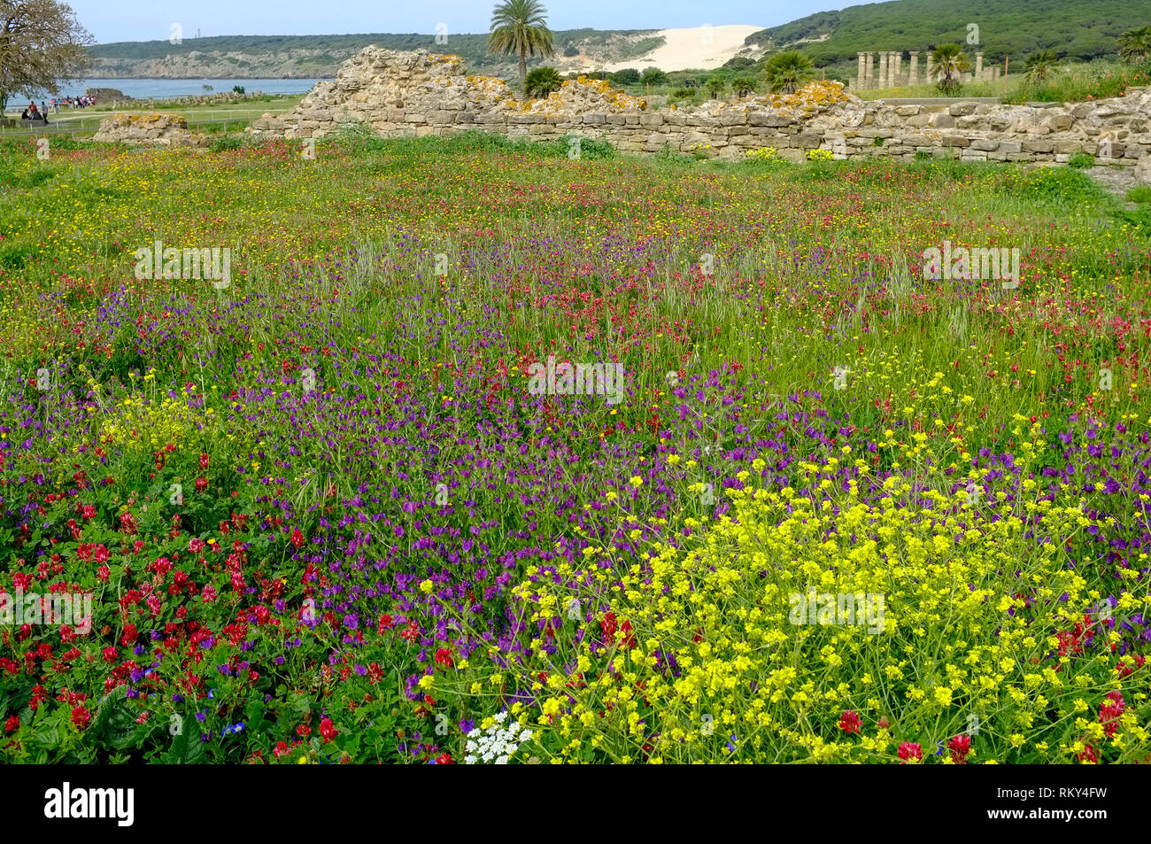 A view of the lush wild flower meadow and Roman ruins of Baelo Claudia, behind the beach in Bolonia Bay, Costa de la Luz, Spain. - Stock Image