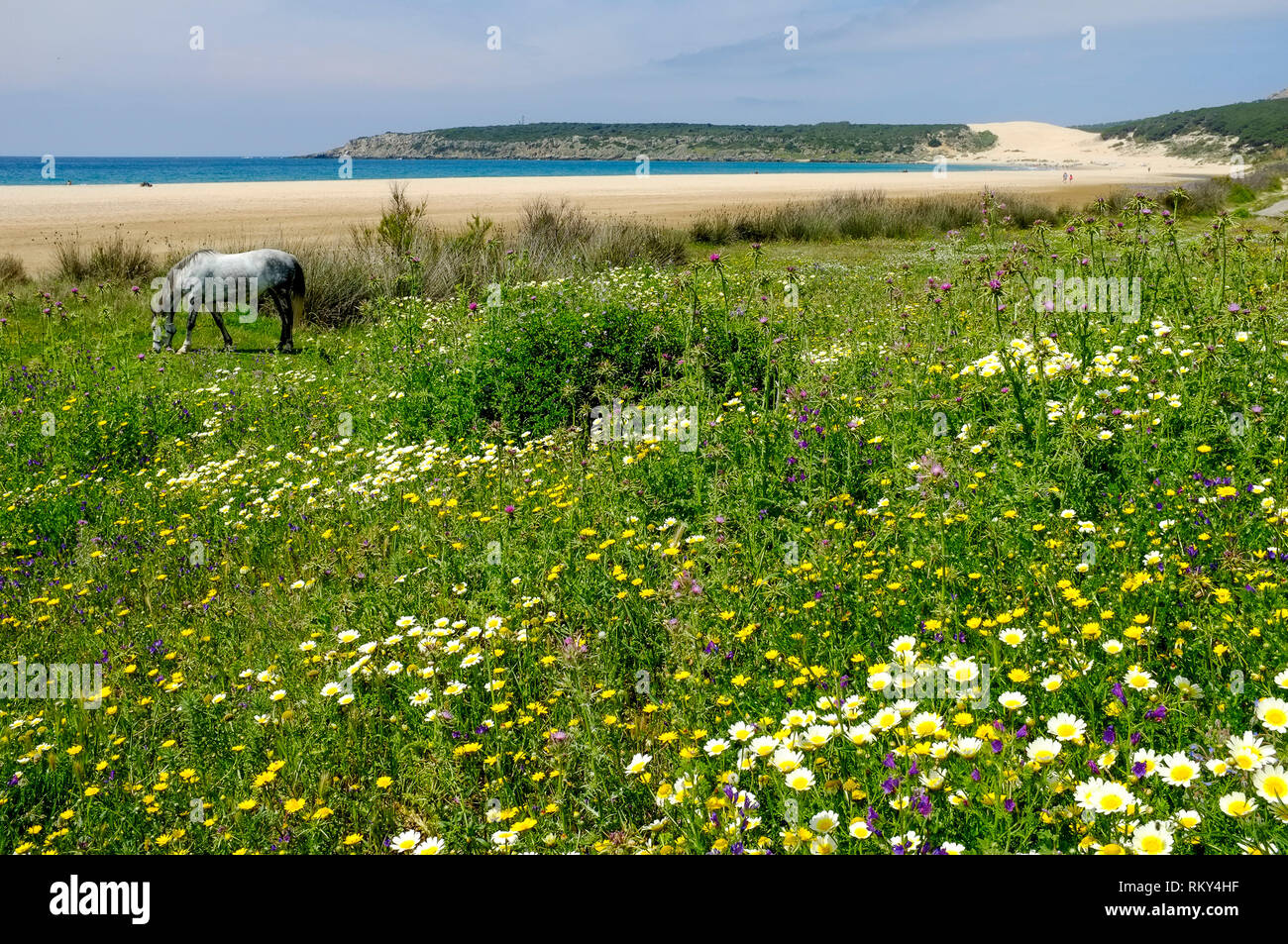 A grazing horse in a wild flower meadow next to the deserted beach and sand dunes at Bolonia Bay, Costa de la Luz, Andalucia, Spain - Stock Image