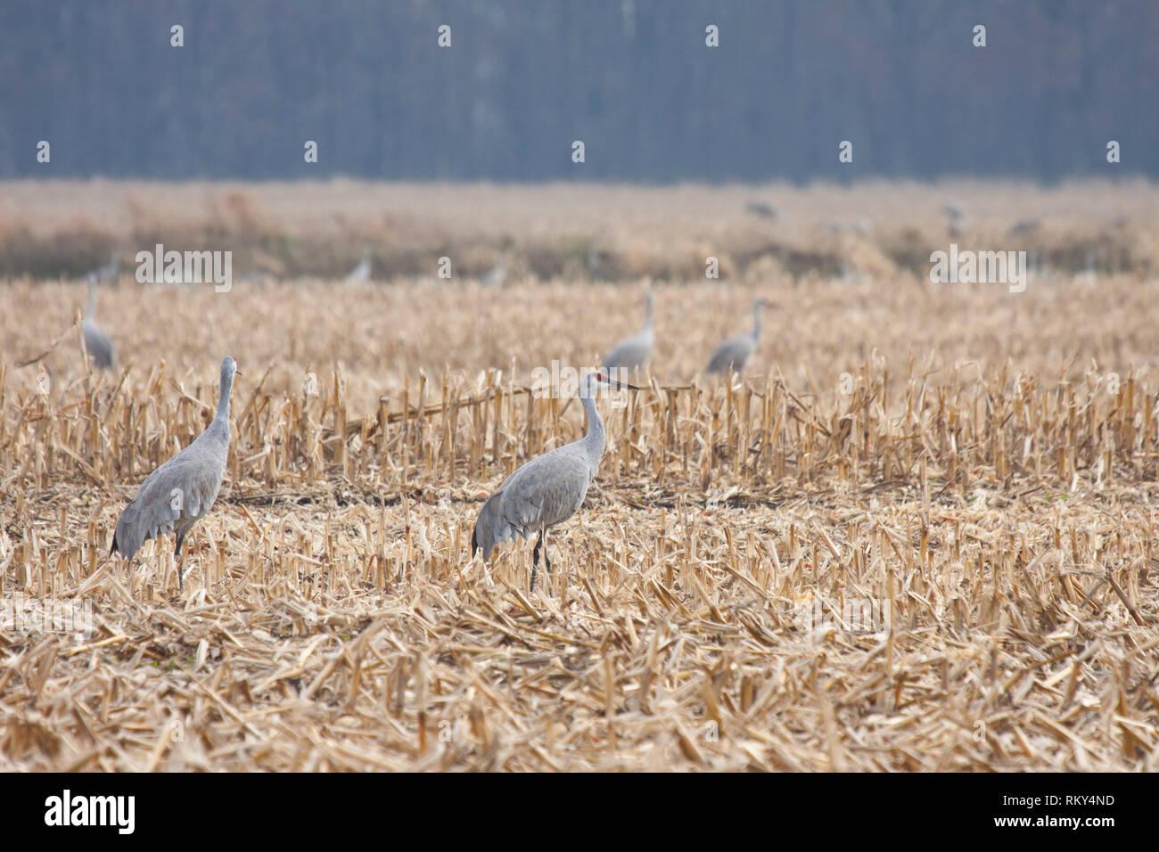 Sandhills walk across in a recently plowed cornfield. - Stock Image