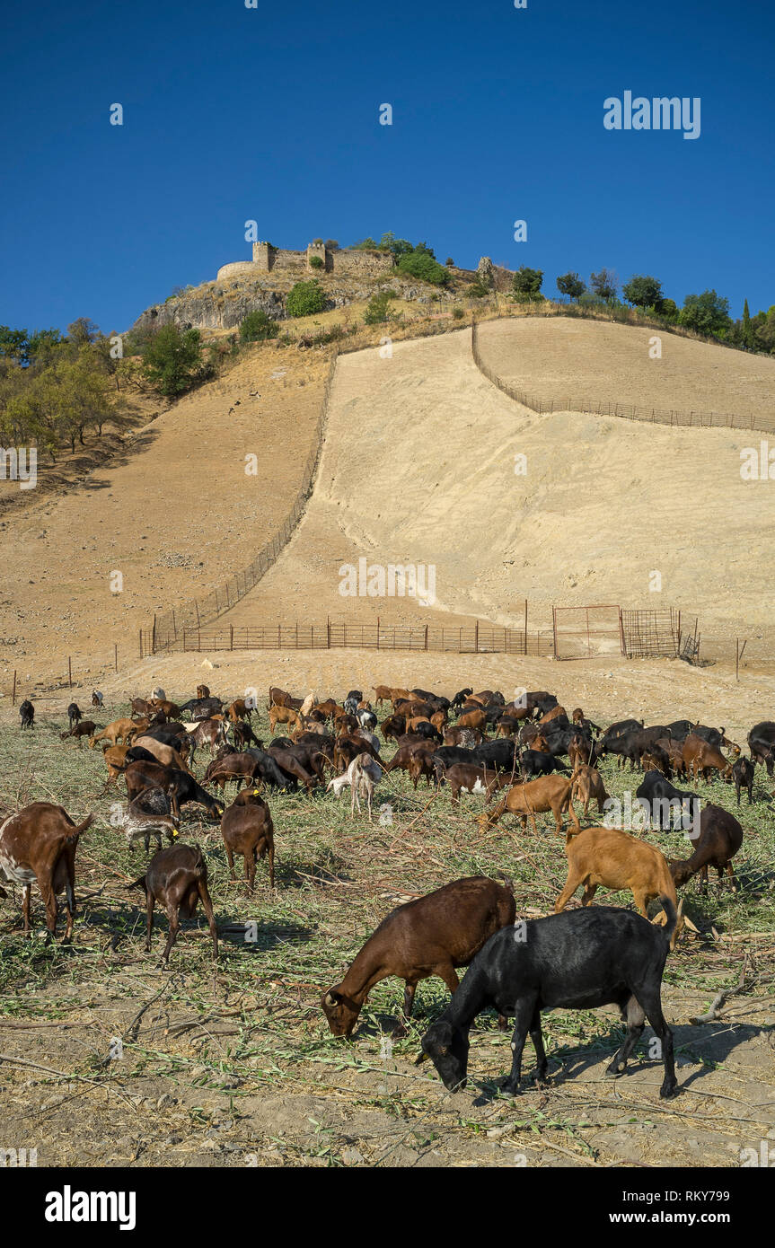 Dairy goats feeding on a small-scale farm at the foot of the Moorish castle, Carcabuey, Cordoba Province, Spain - Stock Image
