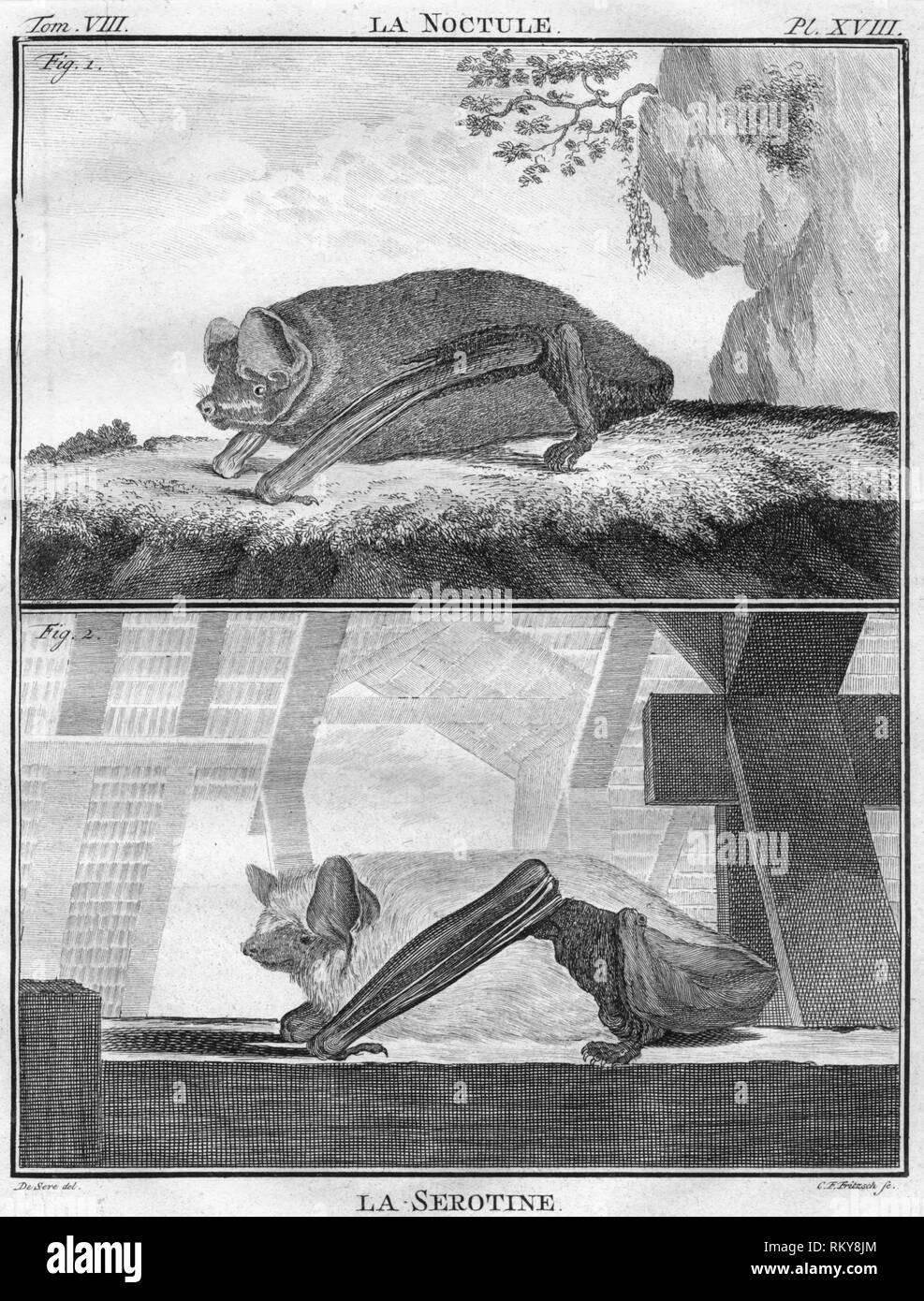 """'La Noctule & La Serotine', c1763. The Common noctule bat and the serotine bat. The """"Histoire Naturelle, générale et particulière, avec la description du Cabinet du Roi"""", (Natural History, General and Particular, with a Description of the King's Cabinet) was written 1749-1804 by the Comte de Buffon, and was continued after his death. It was a monumental work in multiple volumes, and covered what was known of the 'natural sciences' at the time, including physics, chemistry and technology as well as the natural history of animals. - Stock Image"""