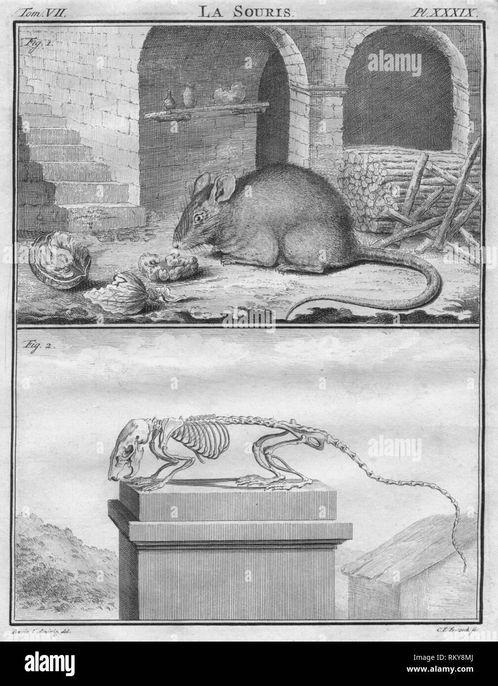 """'La Souris', c1763. The mouse, and below its skeleton. The """"Histoire Naturelle, générale et particulière, avec la description du Cabinet du Roi"""", (Natural History, General and Particular, with a Description of the King's Cabinet) was written 1749-1804 by the Comte de Buffon, and was continued after his death. It was a monumental work in multiple volumes, and covered what was known of the 'natural sciences' at the time, including physics, chemistry and technology as well as the natural history of animals. - Stock Image"""