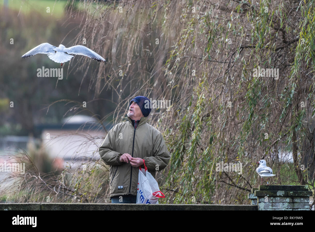 A man feeding Black Headed gulls in winter plumage in Trenance Gardens in Newquay in Cornwall. - Stock Image