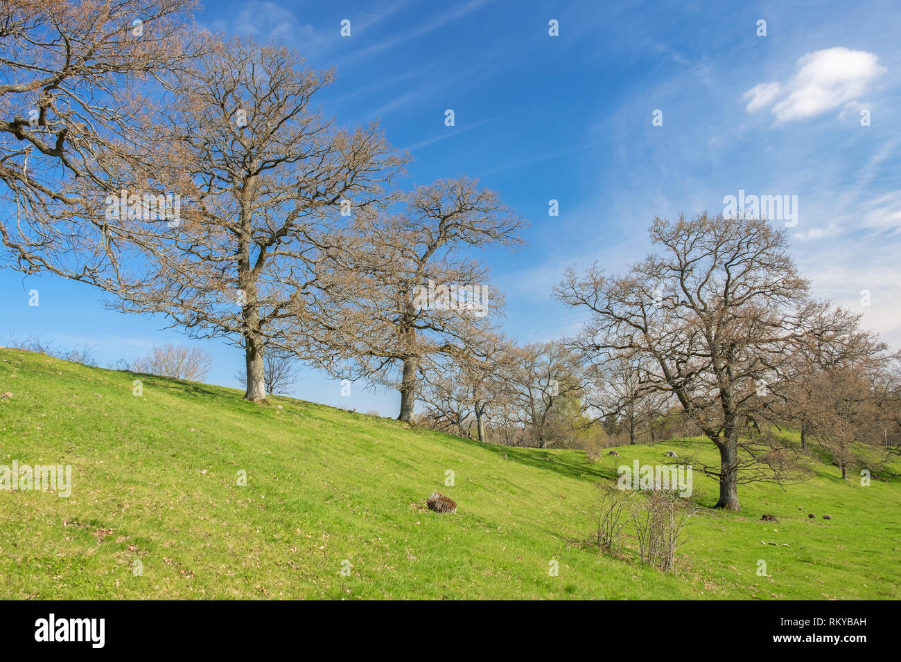 Big oak tree on a hill in a beautiful landscape in spring - Stock Image