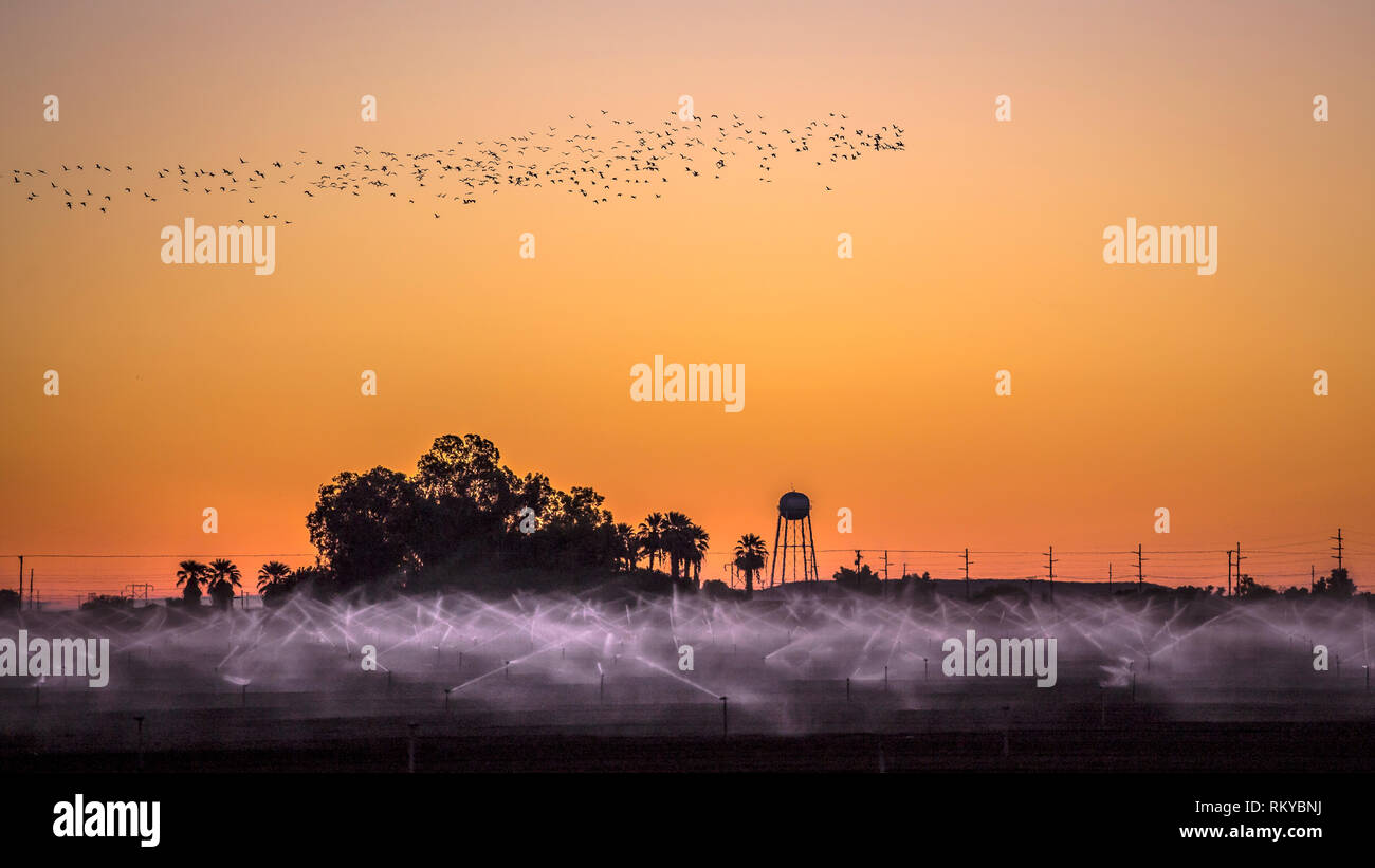 Crops in a farm field being irrigated just before sunrise as birds fly overhead. - Stock Image