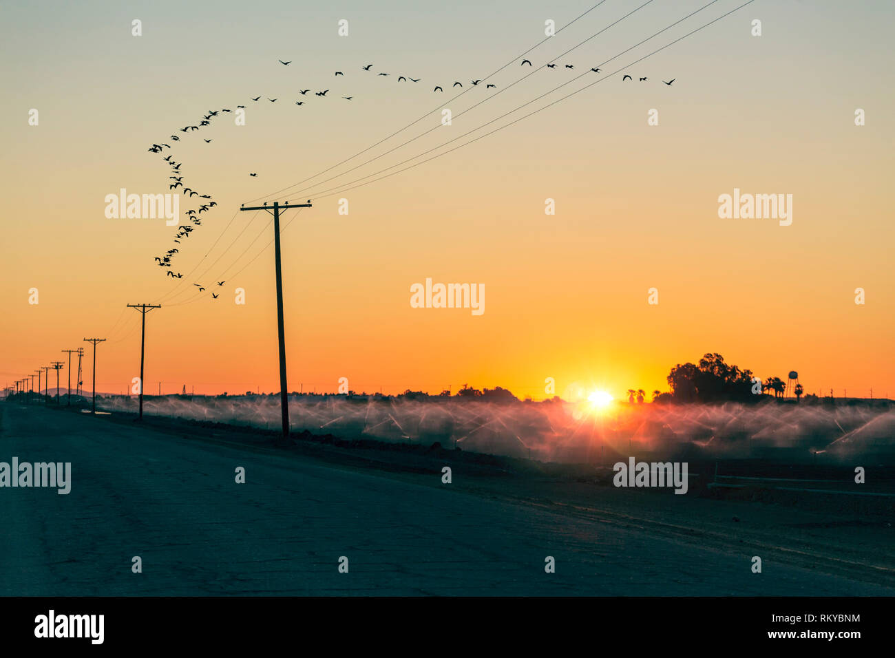 Crops in a farm field next to a country road being irrigated at sunrise while a flock of birds fly overhead in formation. - Stock Image