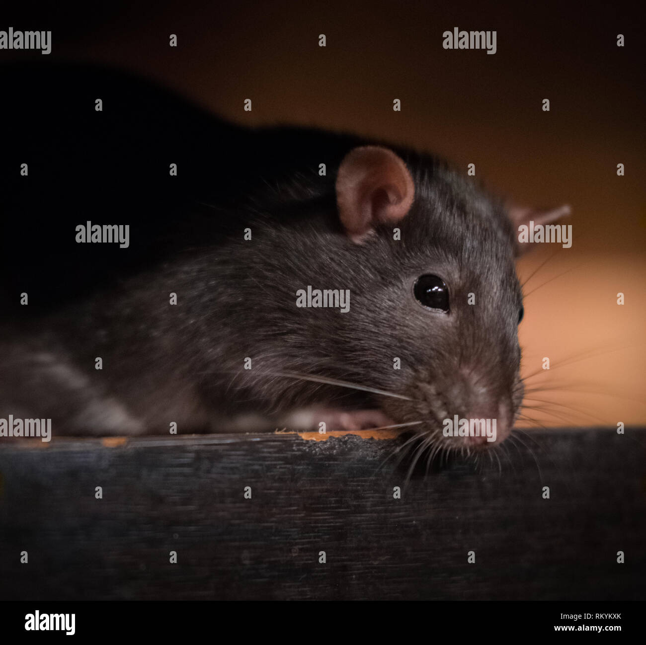 Side view of a domestic pet rat resting on a table - Stock Image
