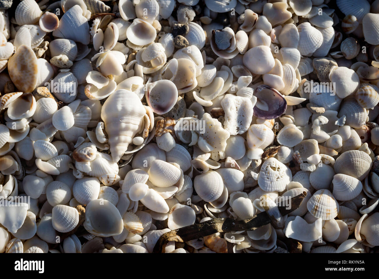 Small bright sea clams with grass lightned by sun on beach of Chelem, Mexico - Stock Image