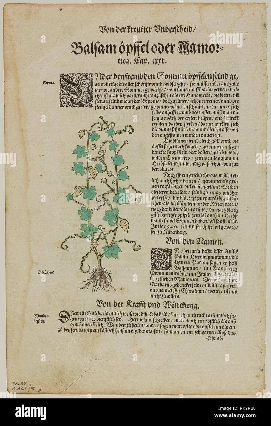 Leaf from New Kreuterbuch by Hieronymus Bock, plate 98 from Woodcuts from Books of the XVI Century - 1580, assembled into portfolio 1937 - Attributed Stock Photo
