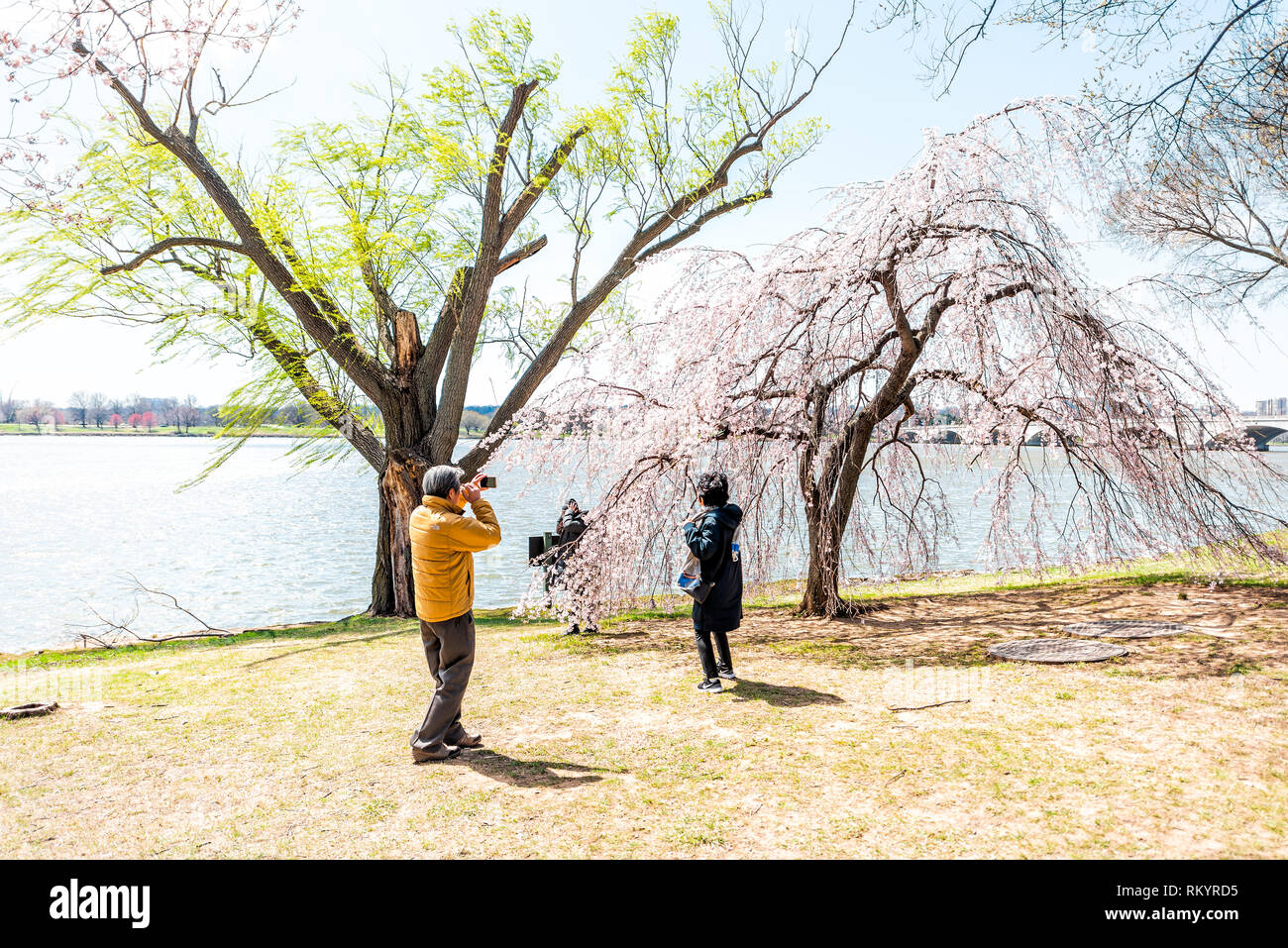 Washington DC, USA - April 5, 2018: Tourists asian people couple taking pictures by cherry blossom sakura trees in spring with potomac river memorial  - Stock Image
