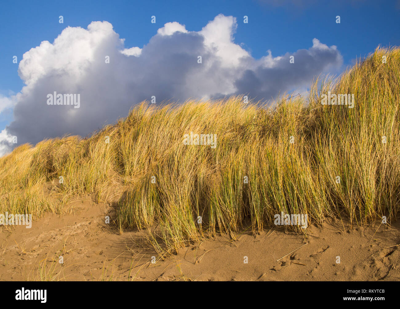 beautiful sand dune grasses swaying in the gentle breeze against a blue sky white cloud background at Instow in Devon - Stock Image