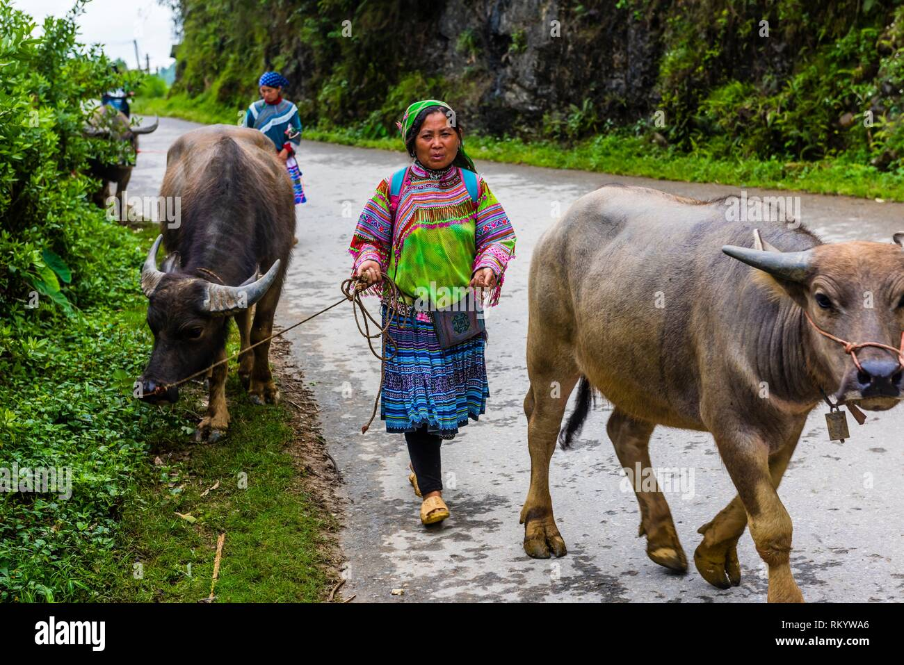 Flower Hmong (hill tribe) women bringing water buffalo from the Sunday market at Bac Ha (near Sapa) northern Vietnam. - Stock Image
