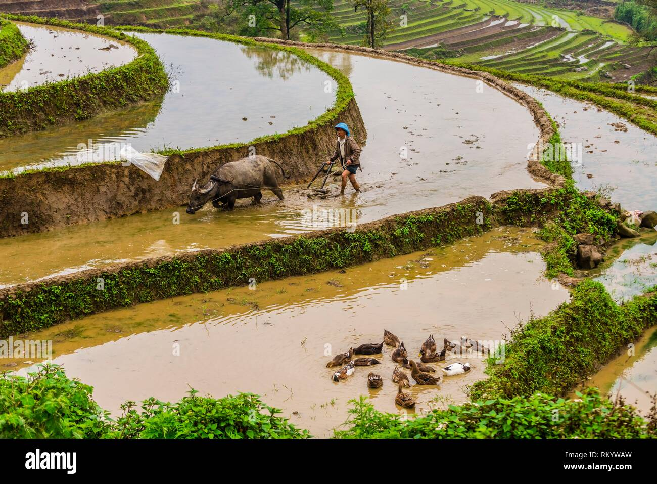 Farmer and water buffalo working in the rice terraces of the Muong Hoa Valley near Sapa. northern Vietnam. - Stock Image