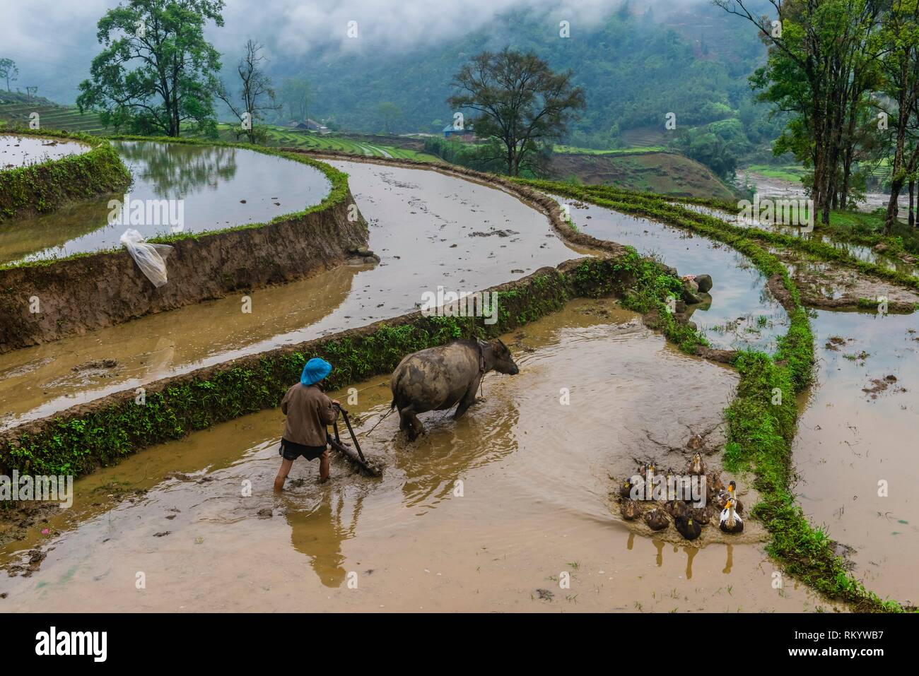 Farmer and water buffalo working in the rice terraces of the Muong Hoa Valley near Sapa. northern Vietnam. Stock Photo