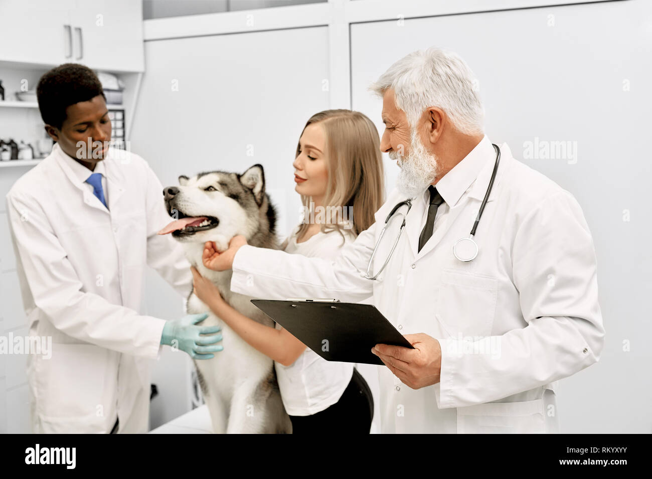 Two veterinary doctors and owner standing near beautiful malamute, looking at him and stroking. Professional doctor with gray hair wearing in white medical uniform, holding folder. Stock Photo