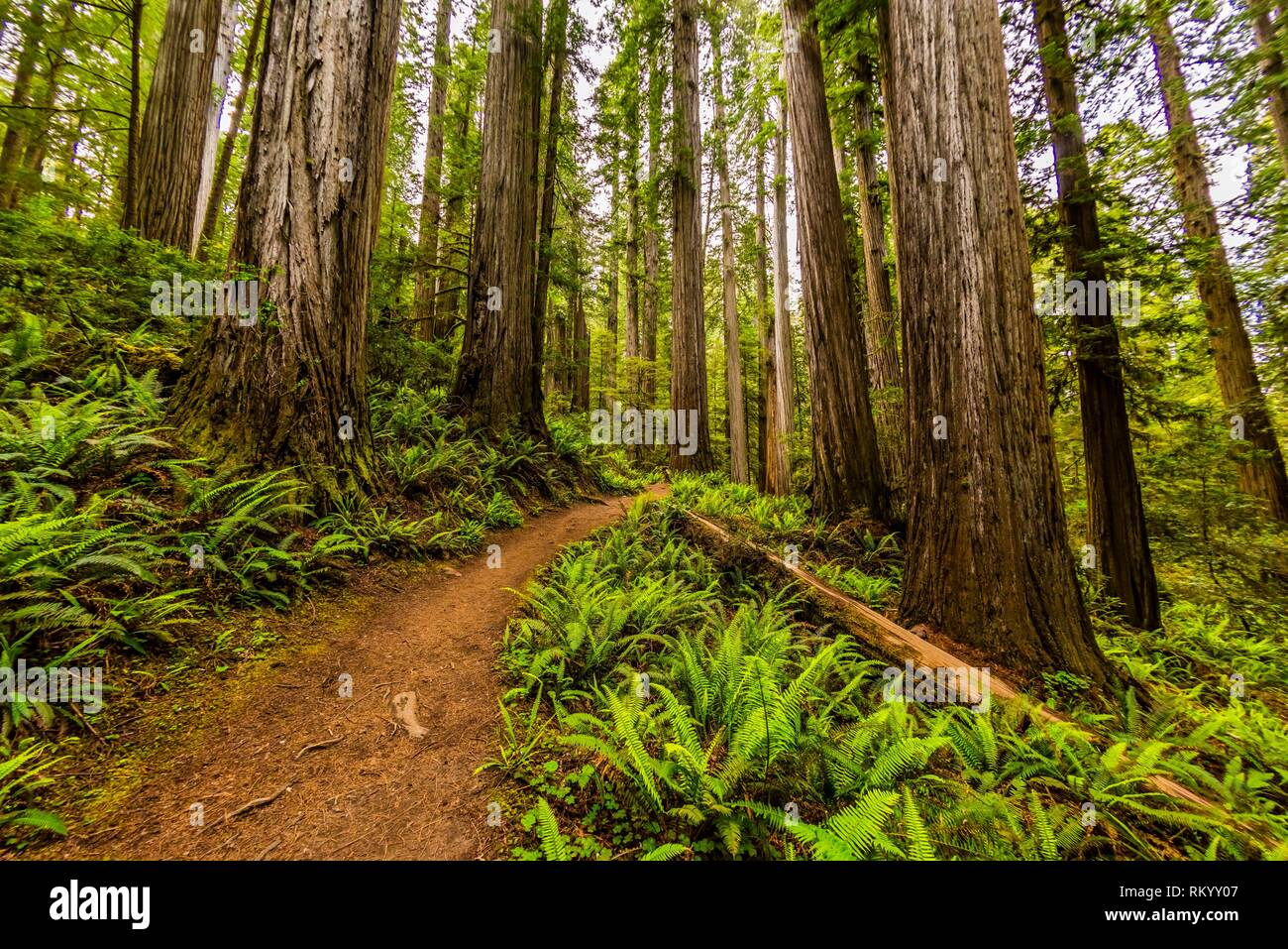Hiking through a massive redwood forest on Boy Scout Trail, in Jedediah Smith Redwoods State Park, part of Redwood National and State Parks, northern - Stock Image