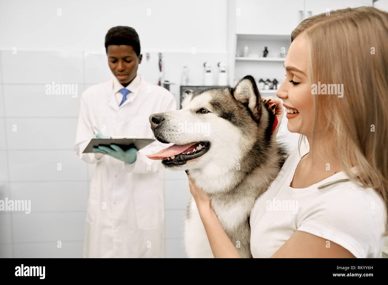 Alaskan malamute with pink tongue in vet clinic on examination. Owner of big beautiful dog standing near pet, stroking him. African doctor standing behind, writing in folder. - Stock Image
