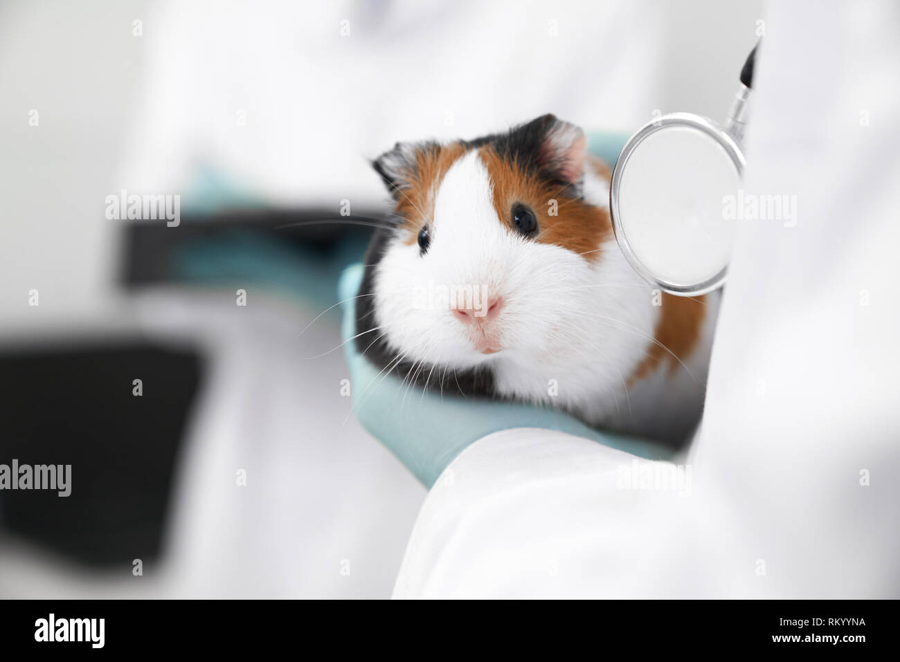 Veterinarian holding little domestic pet in hands. Close up of beautiful white and brown hamster looking at camera. Examination of animals in professional and modern vet clinic. - Stock Image