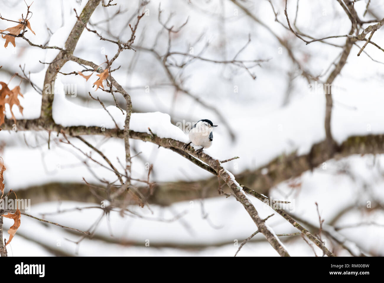 One white-breasted nuthatch bird on tree trunk during winter snowflakes snow covered oak tree in Virginia white background autumn winter or spring - Stock Image