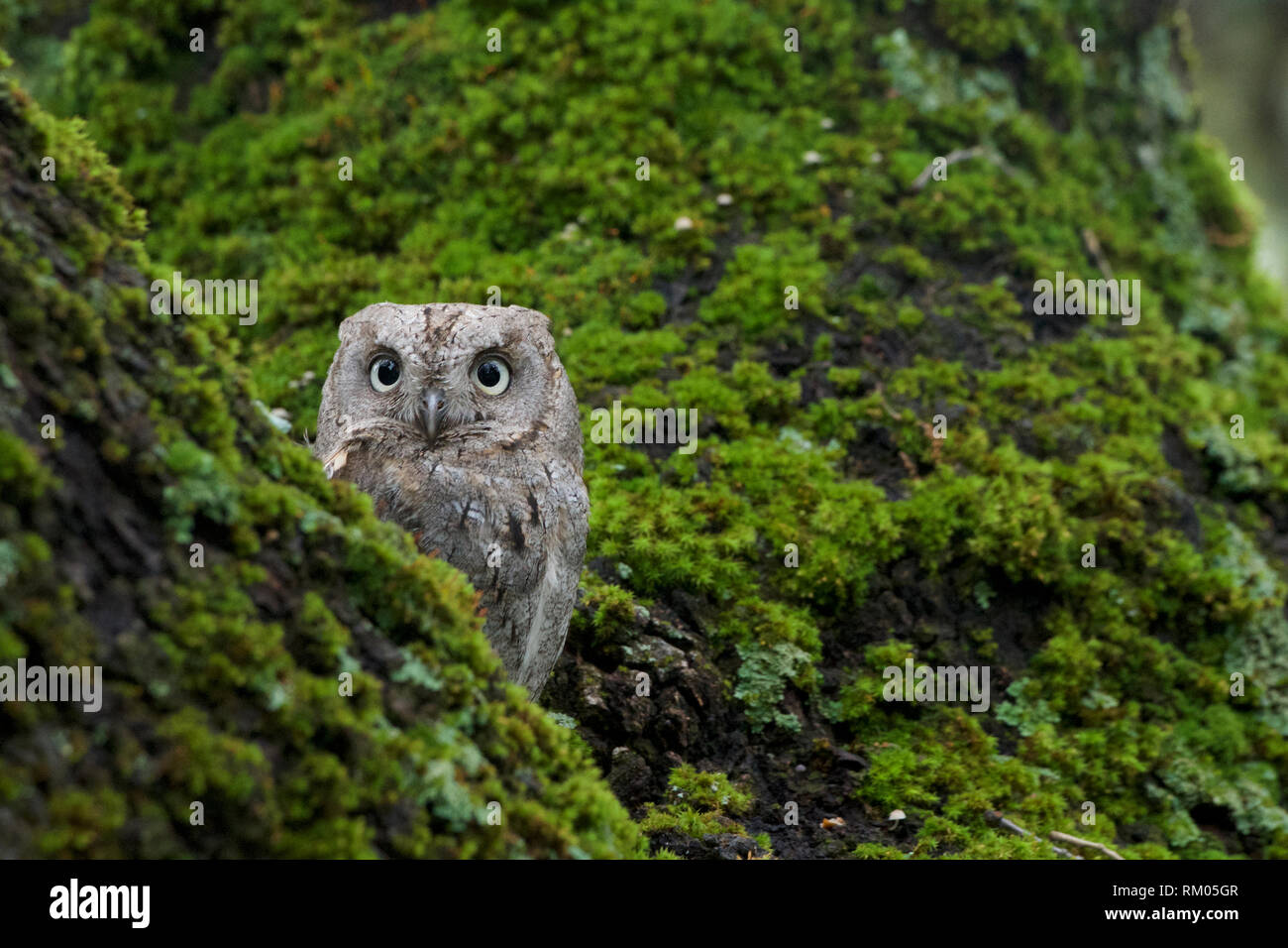 Autillo, Europeo, Otus scops, Strigiformes, Scops Owl, European, Eurasian, Scops, Owl, - Stock Image