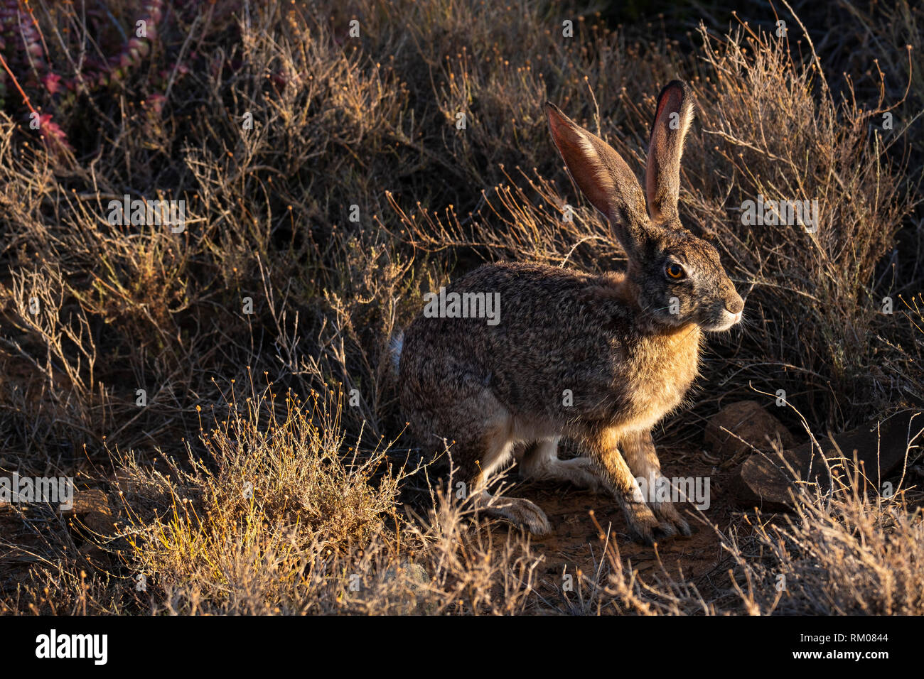 Scrub Hare in the early morning light - Stock Image