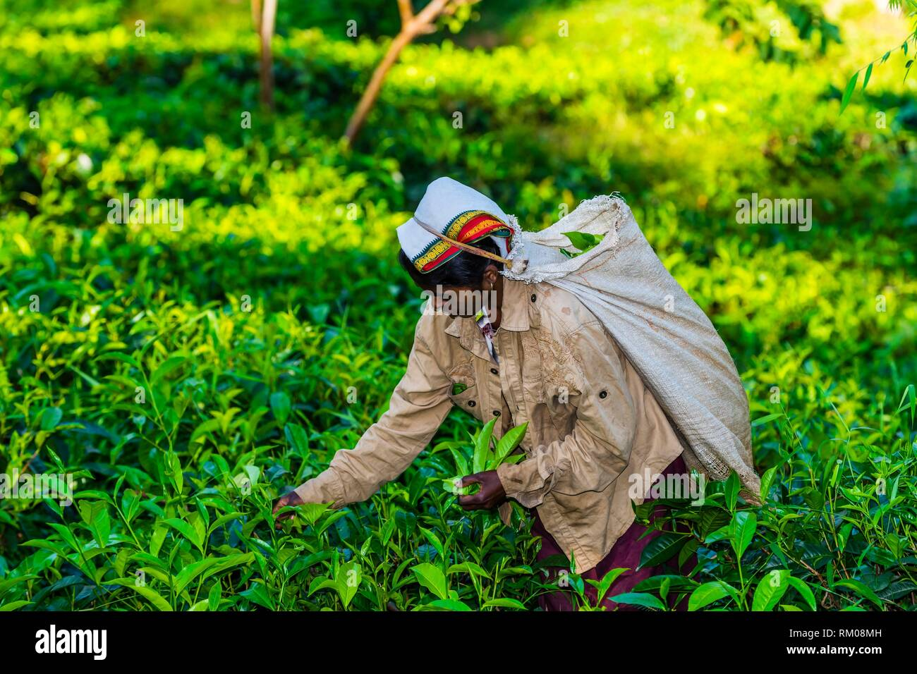 Women picking tea, Ambagollapathana, near Ella, Uva Province, Sri Lanka. - Stock Image