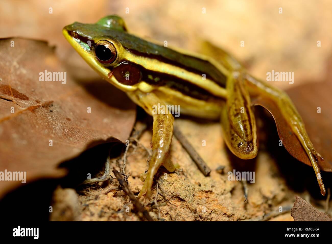 Green frog (Hylarana erythraea) in Angkor area, Siem Reap, Cambodia. - Stock Image