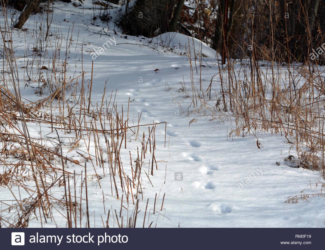 Animal Tracks in fresh snow Stock Photo
