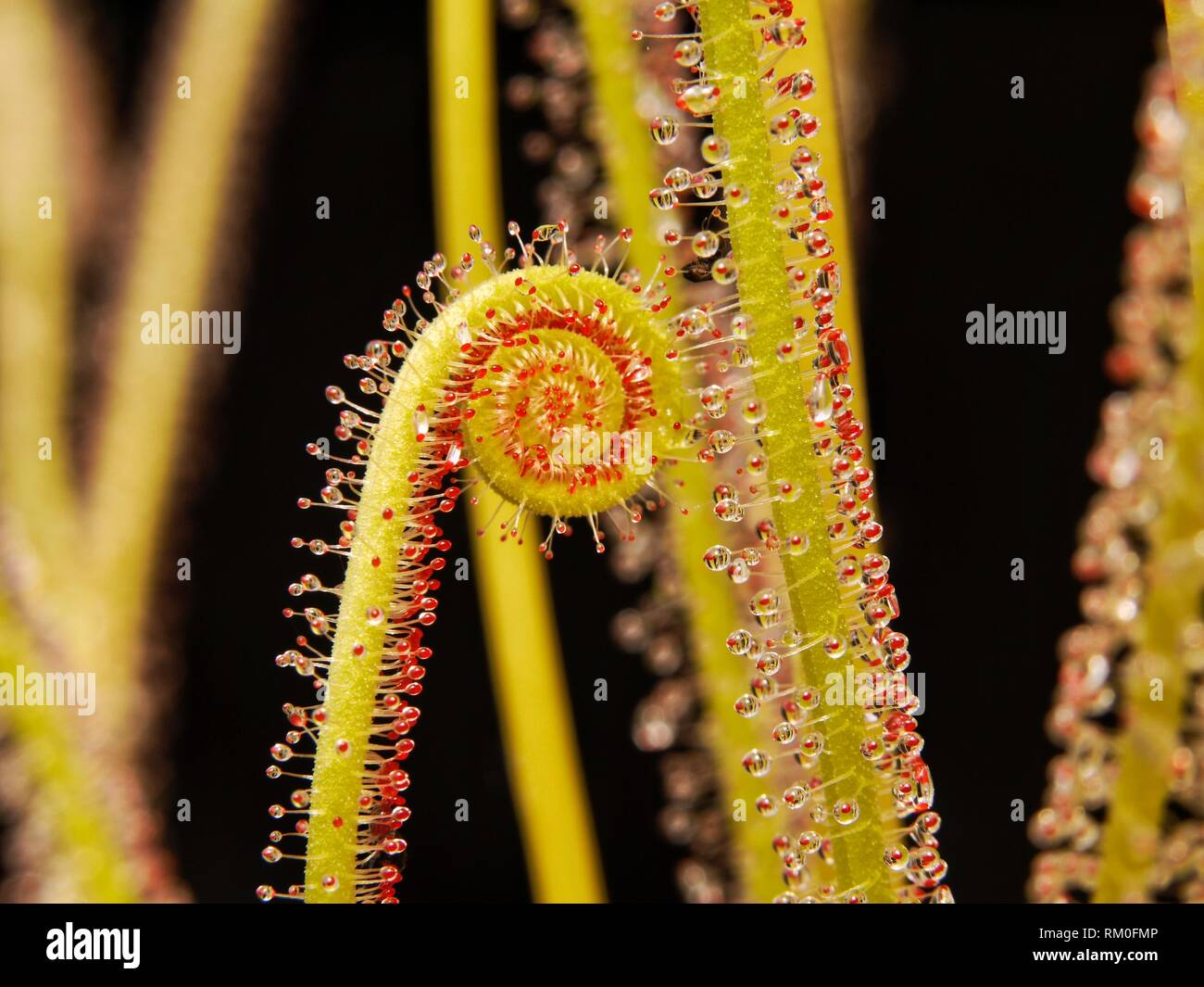Macro image of Sundew tendrils on a black background, showing sticky substance used to trap insects. - Stock Image