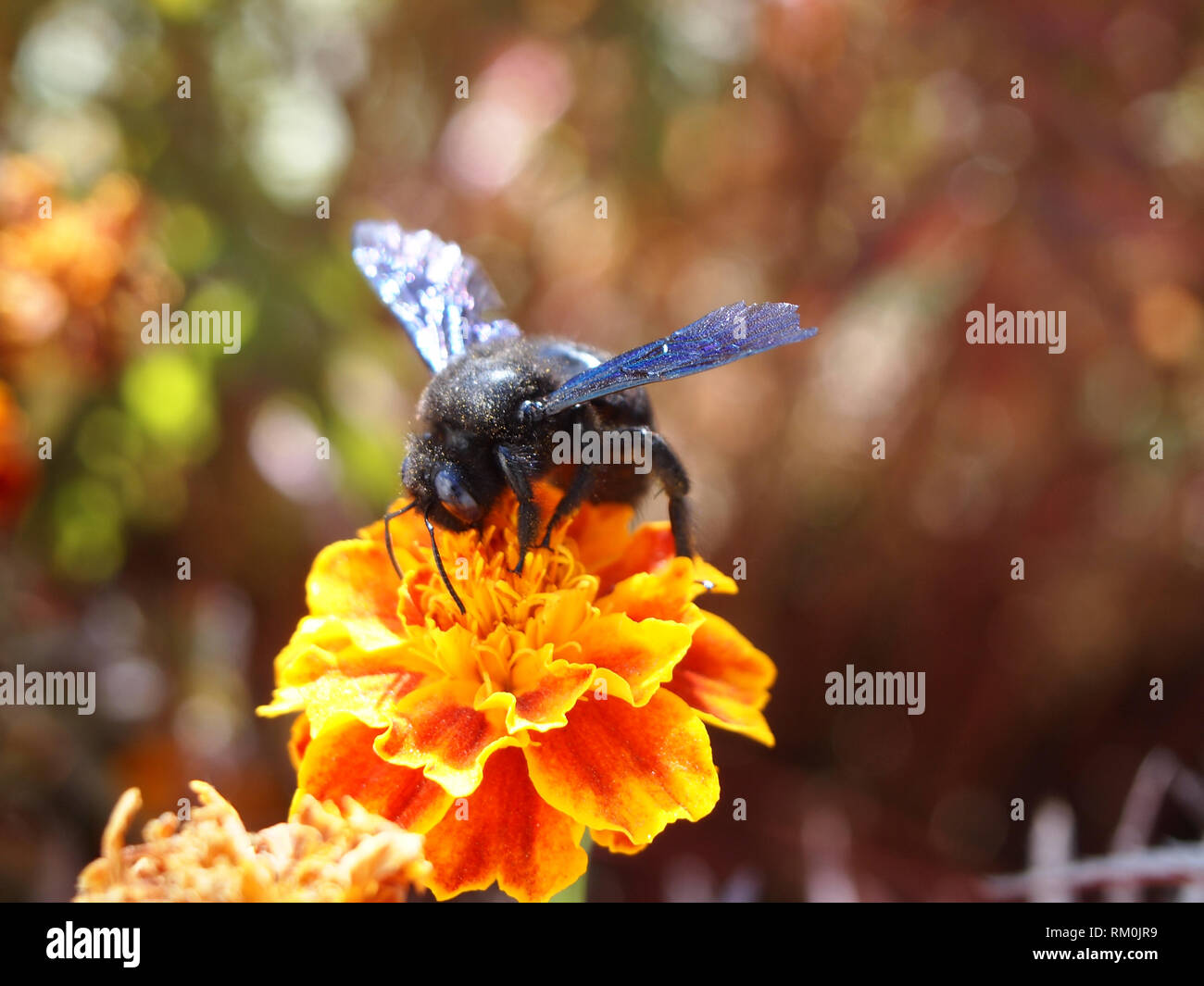 Large wild bee eating nectar from a flower in Ladakh, India - Stock Image