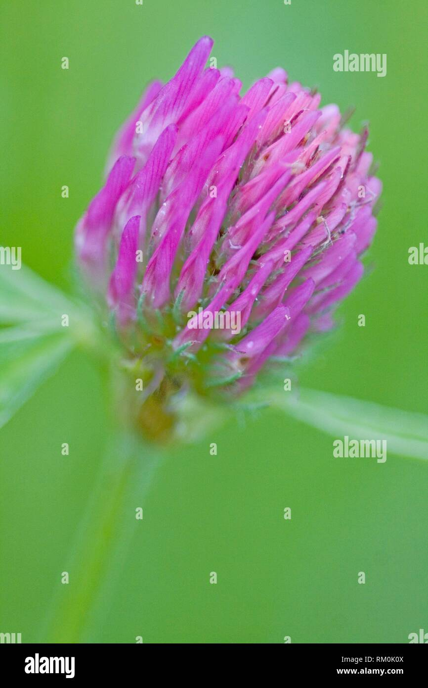 Red clover, Trifolium pratense is herbaceous perennial plant. used for fodder and soil enrichment through nitrogen enrichment. Major crop for - Stock Image