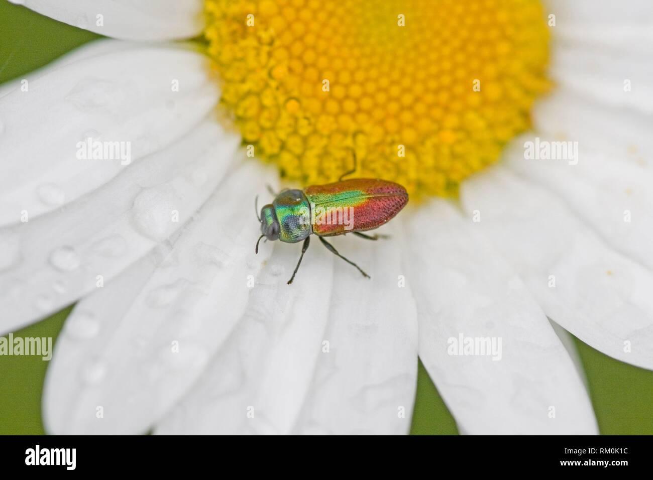 Jewel Beetle, Anthaxia fulgurans. - Stock Image