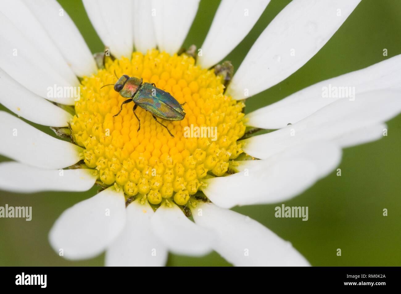 Jewel Beetle, Anthaxia nitidula. - Stock Image