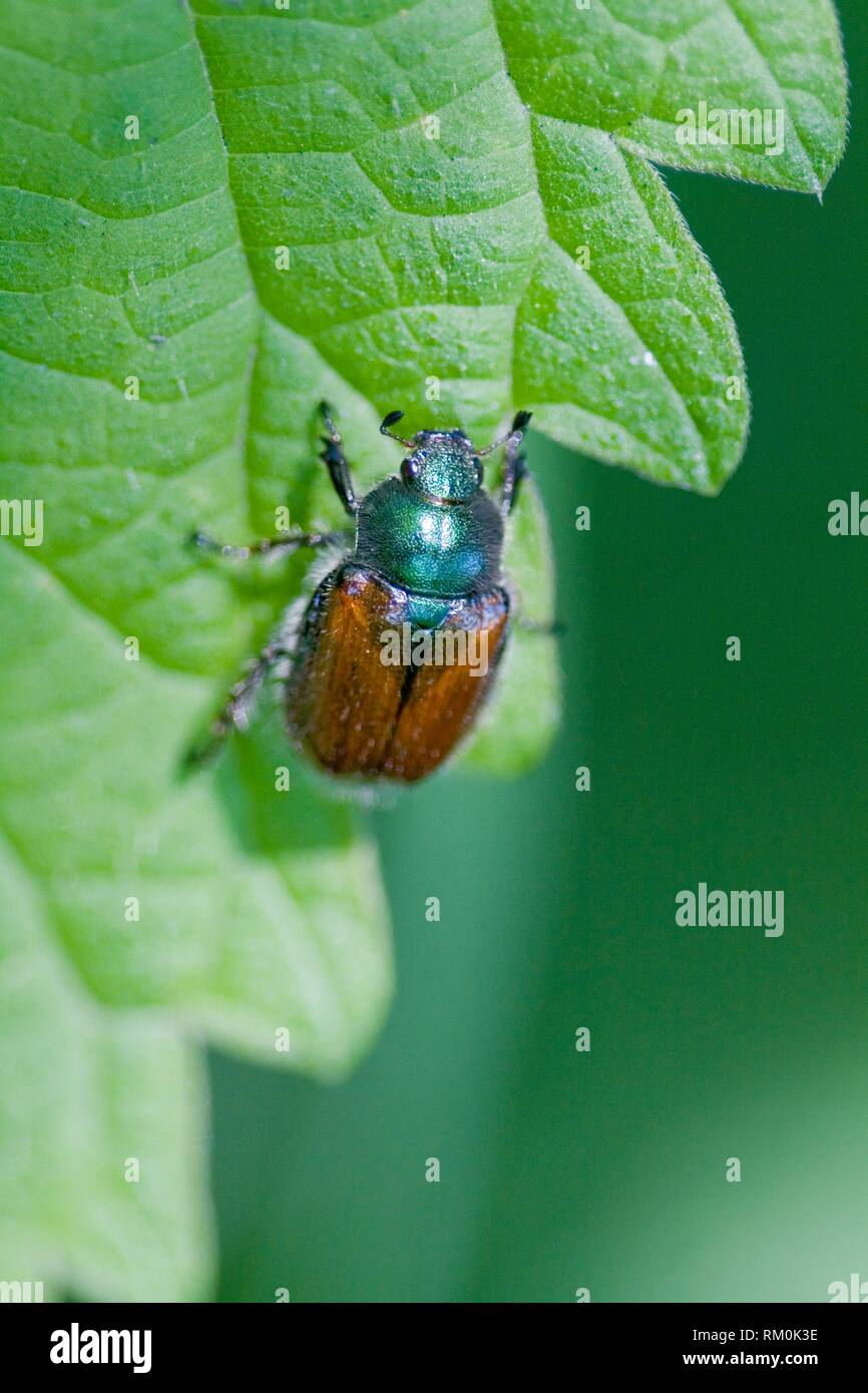 Garden Foliage Beetle, Phyllopertha horticola. Garden Chafer. 8. 5-12 mm length. Metallic green pronuntum and head with chestnut body. Antlered - Stock Image