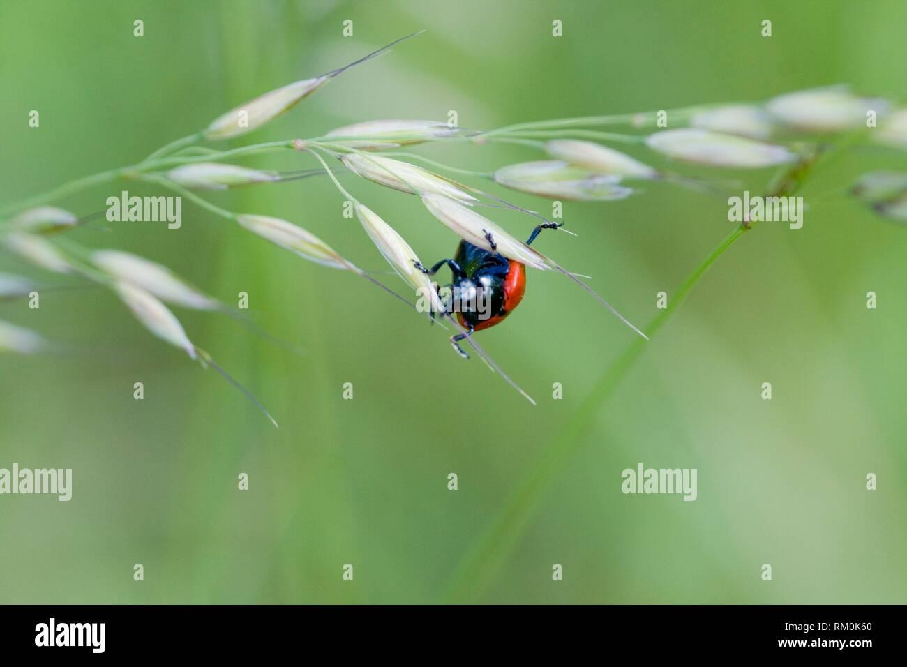 Red Poplar Beetle, Chrysomela populi, Balsam Poplar Leaf Beetle. Leaf beetle pest of alder, willow and poplar. Leaf skeletonizer of economic - Stock Image