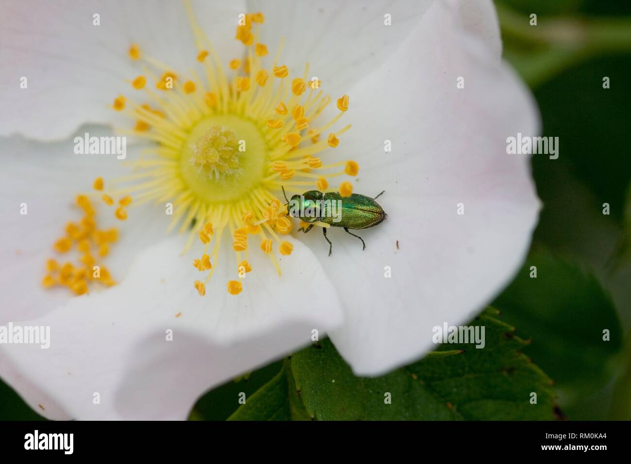 Jewel Beetle, Anthaxia fulgurans on a dogrose. - Stock Image