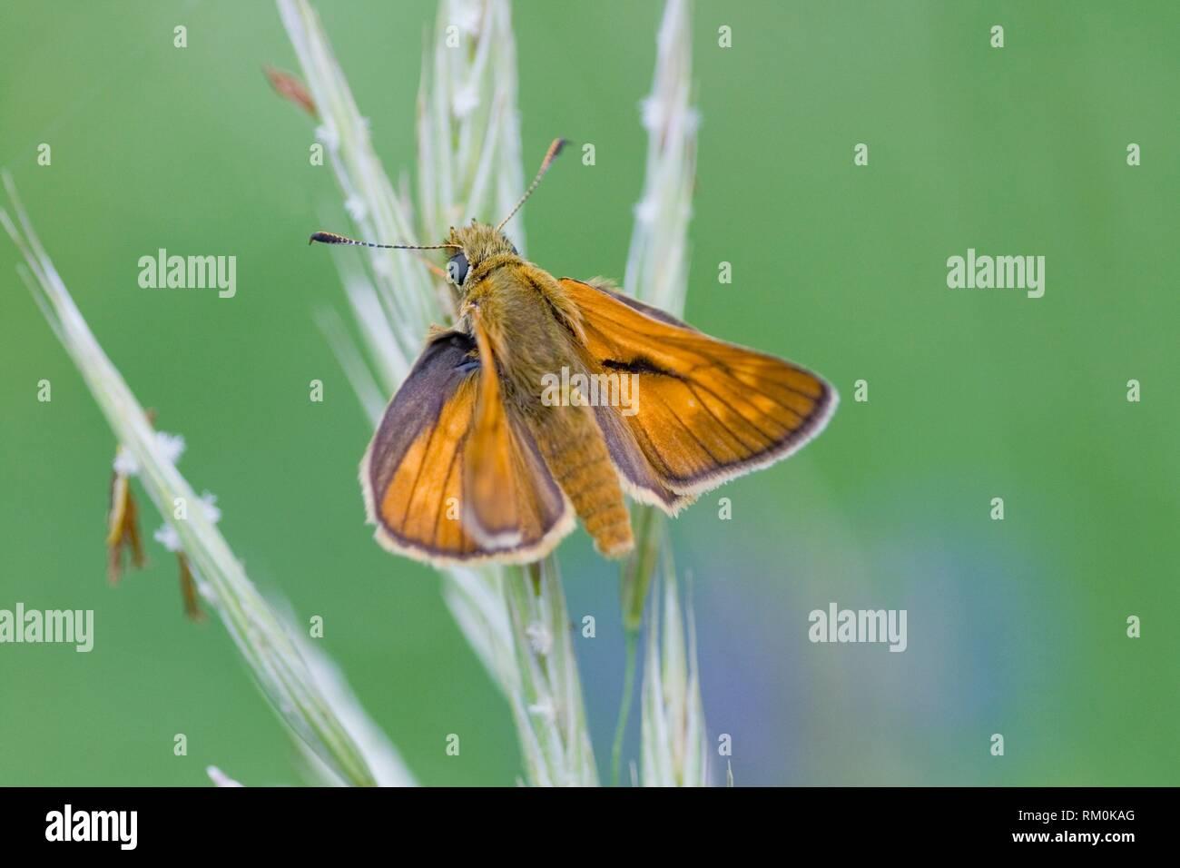 Lulworth Skipper, Thymelicus acteon. Stock Photo