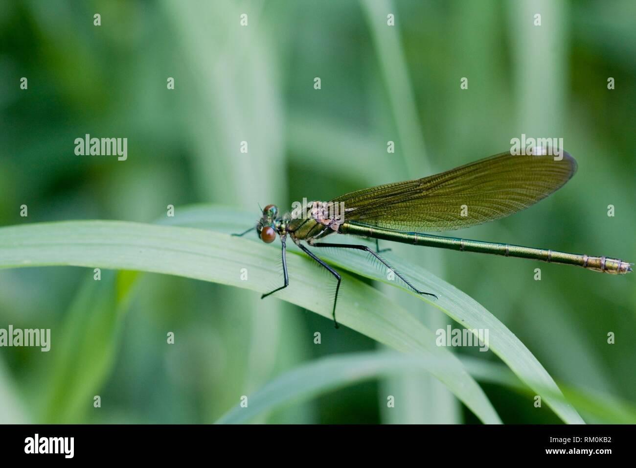 Female Beautiful Demoiselle, Calopteryx virgo. Stock Photo