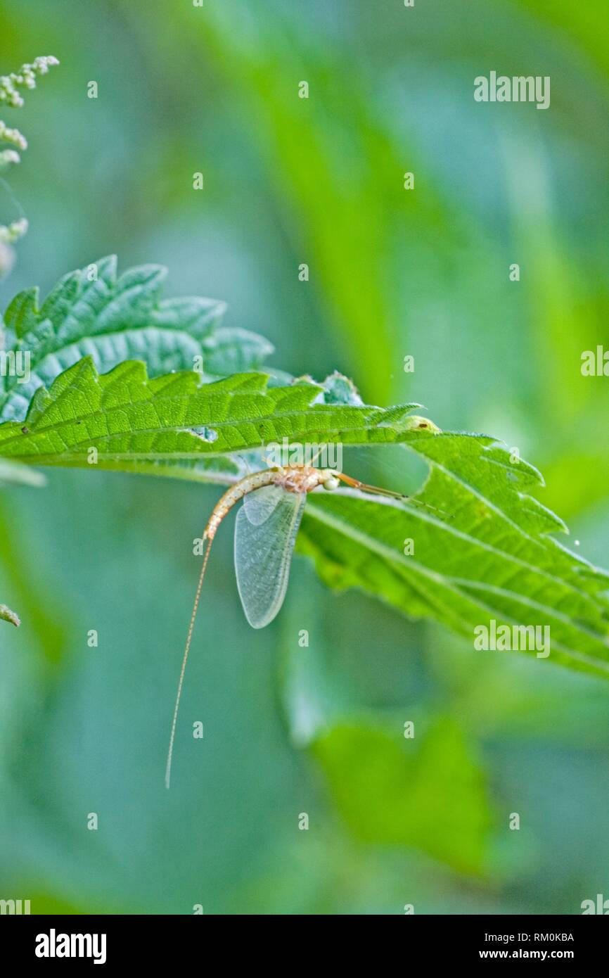 Drake Mackerel Mayfly, Ephemera vulgata. Newly emerged transparent mayfly. Mayflies are particularly sensitive to acidification, but may be tolerant - Stock Image