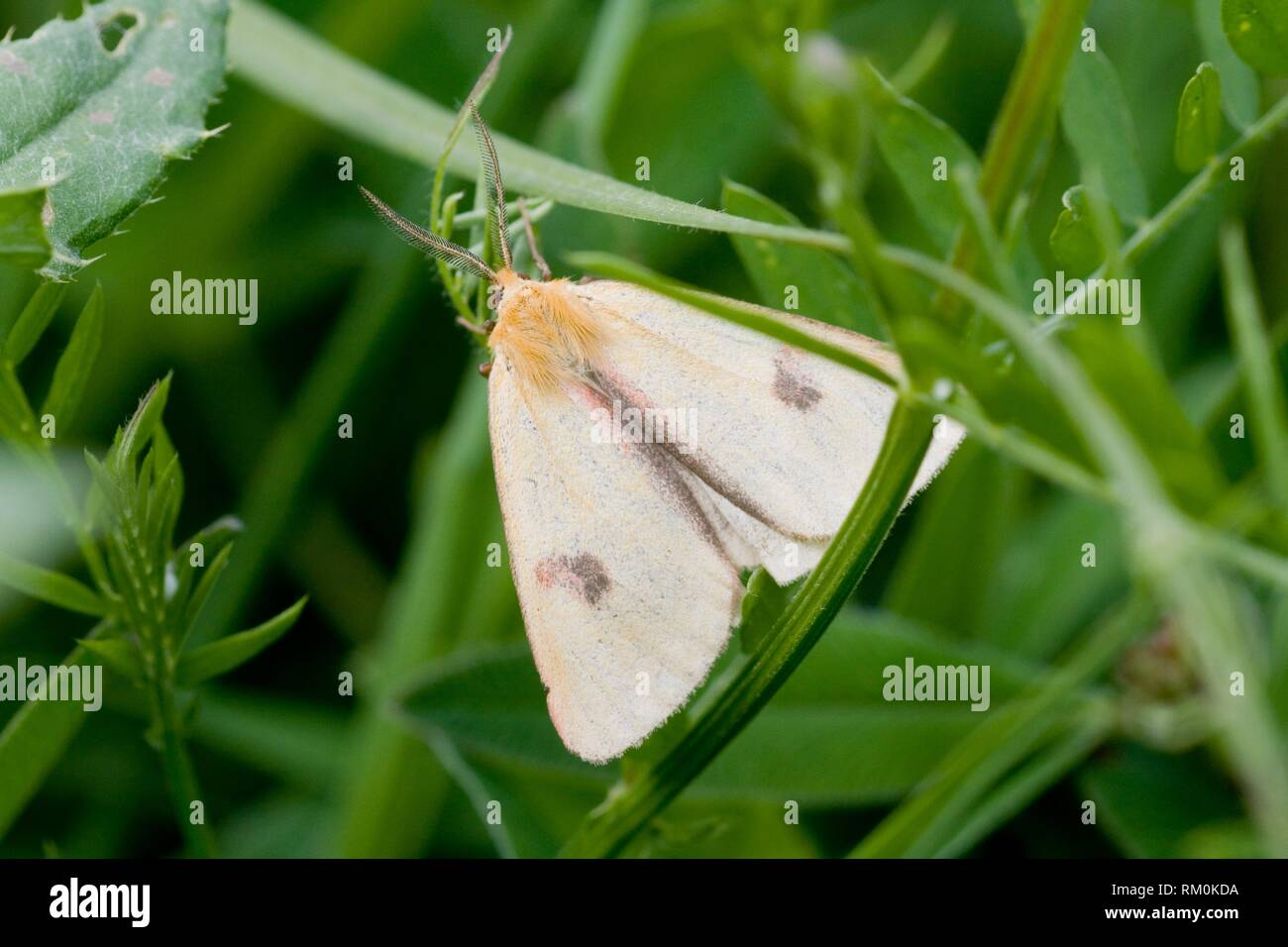 """Clouded Buff, Diacrisia sannio. Wingspan: 35â. """"50 mm. Found in Palearctic ecozone. Male has lemon-yellow wings and female is reddish brown. - Stock Image"""