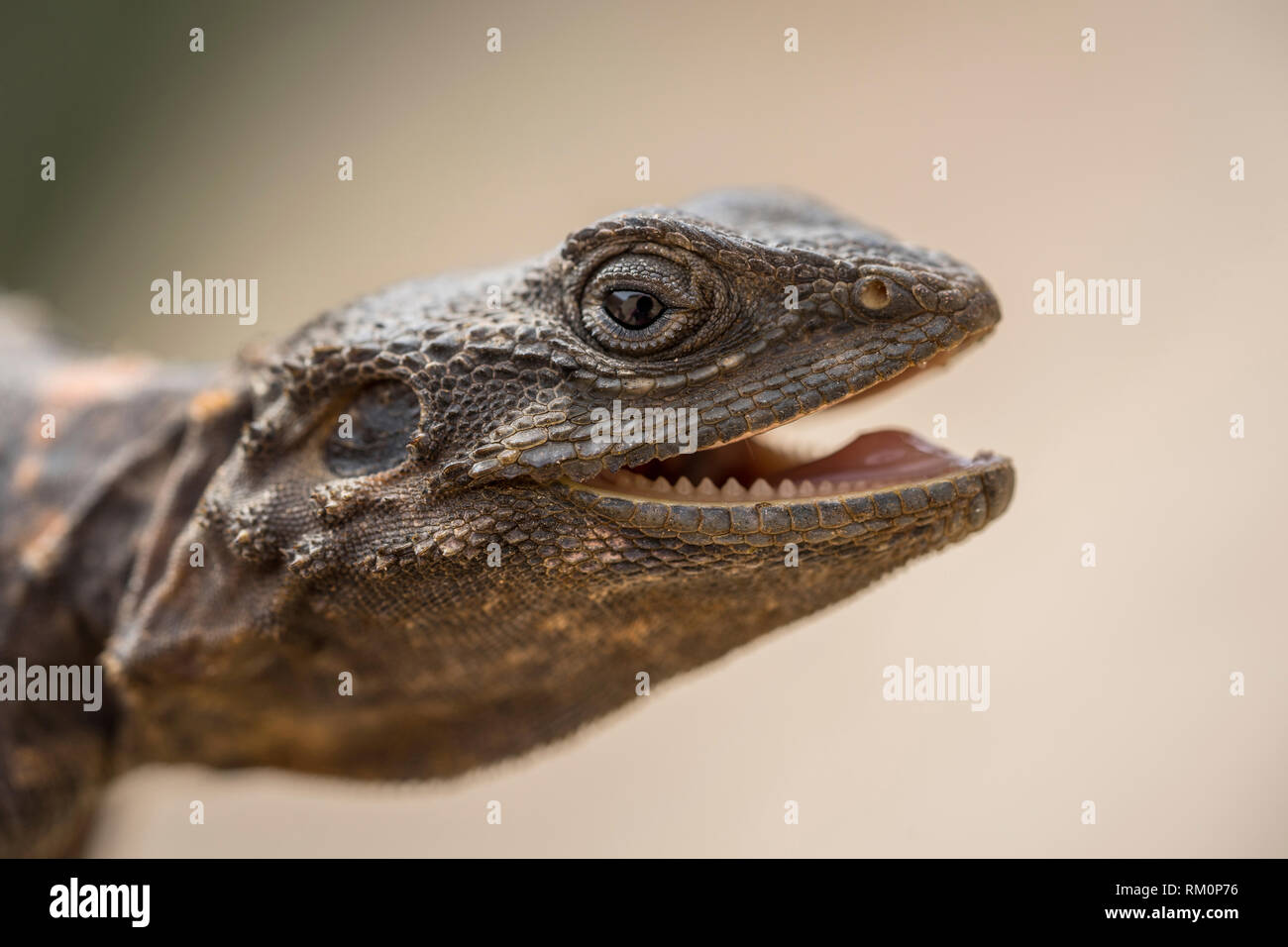 An agama lizard seems to smile at the camera in the deserts of Jordan. - Stock Image